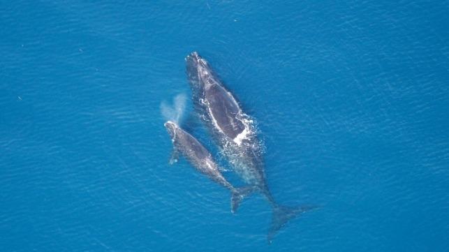 Canadá impulsa la protección de las ballenas francas del Atlántico norte