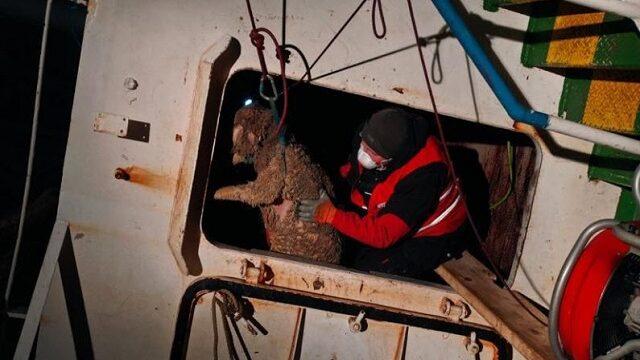 228 ovejas rescatadas de un transportador de ganado volcado